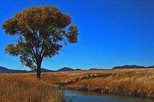 Lone cottonwood along stream